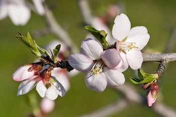 800px-almond_blossom02_aug_2007